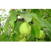 China Natural Sweet Juicy Fresh Pears Health Benefits For Sober Antidote on sale